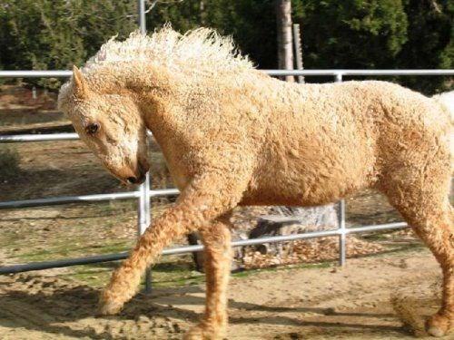 Ook hypoallergeen 'poedelpaard' draaft op tijdens Dag voor Bijzondere Pony- en Paardenrassen in Beggard