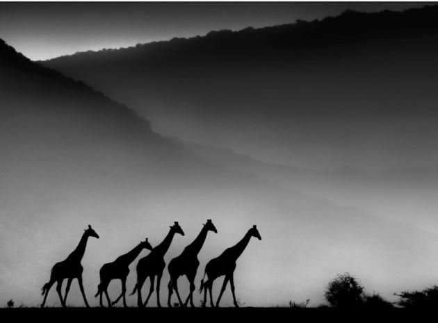 Mysterieuze giraffes leveren gouden camera op