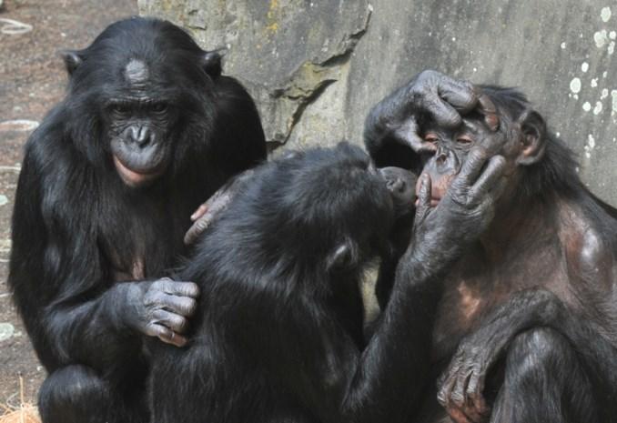 Planckendael ruilt nog snel familie bonobo's voor deadline van Brexit