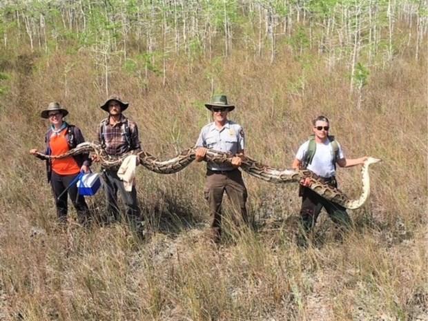 """""""Grootste python ooit"""" gevangen in nationaal park in Florida"""
