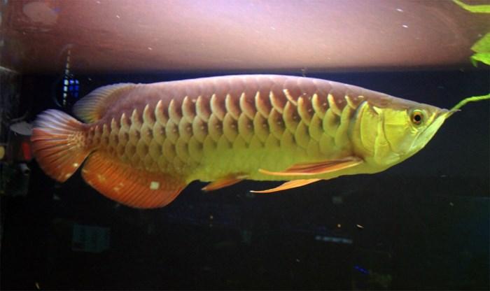 Man tracht exotische vis Australië binnen te smokkelen in zak rond zijn nek