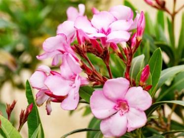Opgelet met deze giftige planten die zo goed als in elke tuin staan