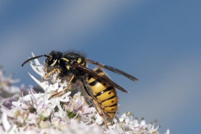 Wespen hebben complexer brein dan bijen