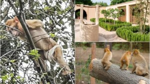 Gevangen berberaapje met pamper kan mogelijk naar gloednieuw verblijf in Planckendael bij soortgenootjes