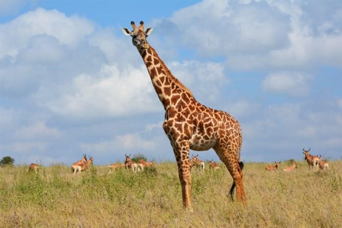 Twee giraffen dood door bliksem in Amerikaans safaripark