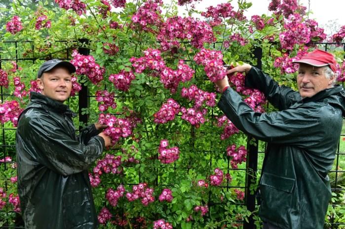 """Vrijbroekpark viert negentigste verjaardag tussen 20.000 rozen: """"Nu nog wat zon en ze staan zondag perfect"""""""