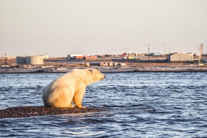 Smeltend zee-ijs bedreigt ijsberen: aantal slinkt tegen 2050 met een derde