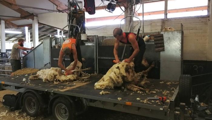 Volledige kudde moet eraan geloven: Scheerders zetten 1.250 schapen in hun blootje