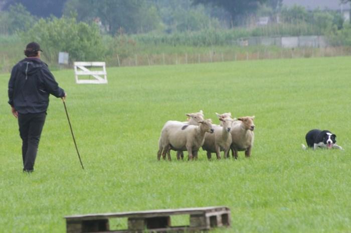 Twintig beste schapendrijvers meten zich met elkaar