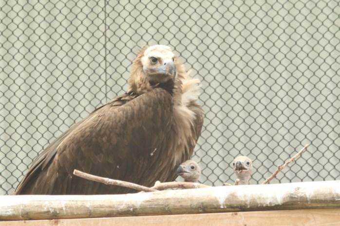 Monniksgieren bezorgen Zoo en Planckendael twee primeurs