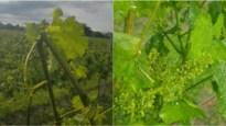 Van hemel naar hel: Antwerps wijndomein enkele uren na voorstelling rosé deels kapot gehageld