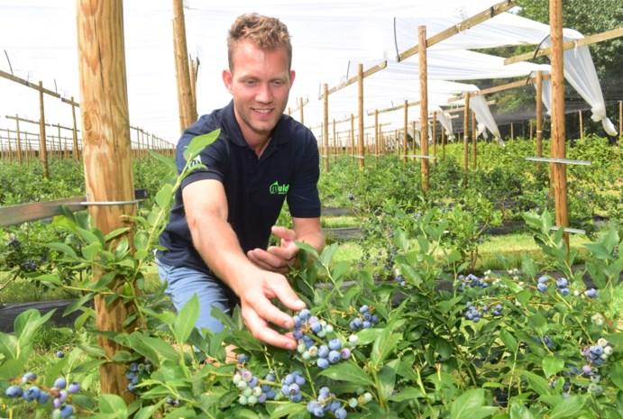Kwekerij Mulders oogst blauwe bessen en maakt er onder andere wijn van