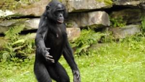 Bonoboverblijf opent met vertraging, bezoekers Planckendael ontvangen terugkomticket