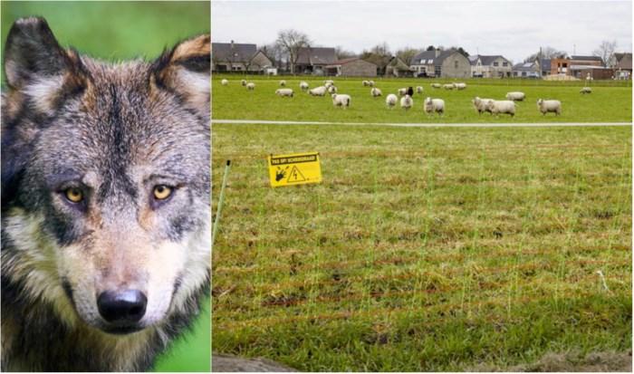 """600 km omheining nodig tegen wolven: """"We moeten Naya en Gust leren dat er voldoende wild is"""""""