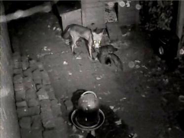 VIDEO. Vos bijt zeven kippen dood in centrum van Brasschaat