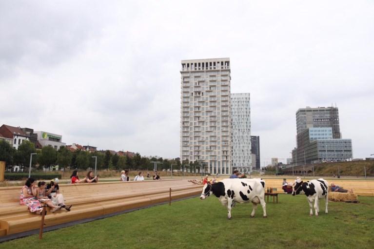 Zomer van Antwerpen laat koeien grazen in Park Spoor Noord
