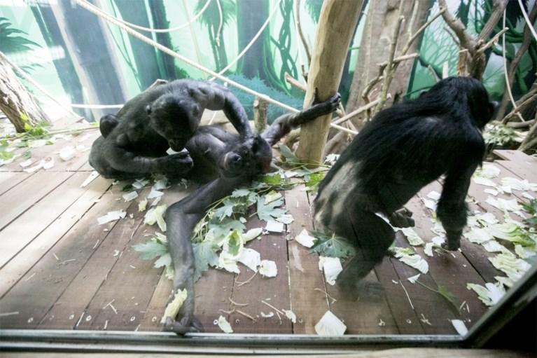 Bonobo's hebben gloednieuwe verblijfplaats in Planckendael