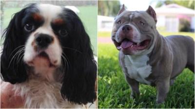 """Honden die Charlie verscheurden slaan opnieuw toe: """"Puppy bevond zich in kritieke toestand"""""""
