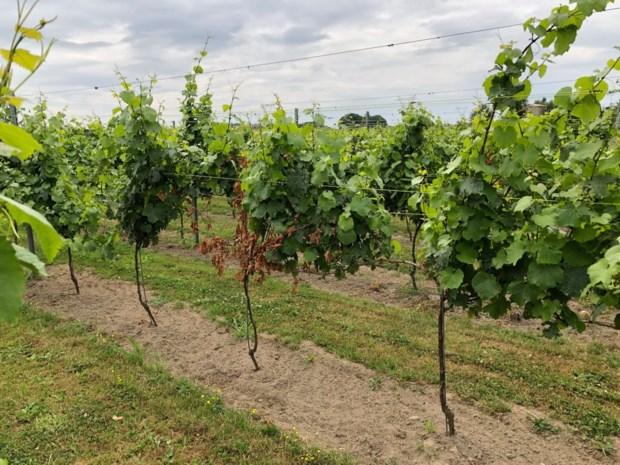Wijnranken Oud Conynsbergh herstellen zich na storm