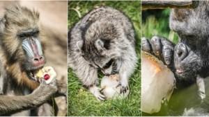 IJsjes met groenten, fruit, vis, bloed of insecten? De dieren in onze zoos smullen ervan