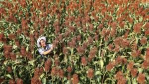 Klimaatverandering stelt landbouw voor grote uitdagingen: zoektocht naar rassen die beter bestand zijn tegen hitte