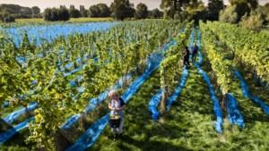Belgische wijnbouw boomt (met dank aan warme zomer)