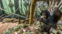 """Zo doet Planckendael wetenschappelijk onderzoek in Congo: """"Wij zijn dé autoriteit op het vlak van bonobo's"""""""