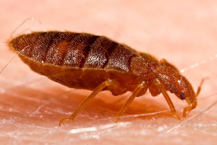 """De opmars van de bedwants: """"Het zijn de nieuwe kakkerlakken"""""""