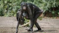 Bonobo's slingeren naar hartenlust rond op hun nieuwe eiland