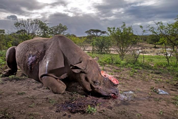 Neushoorn opnieuw aangeschoten wild: trofeeënjagers mogen elk jaar negen dieren doden