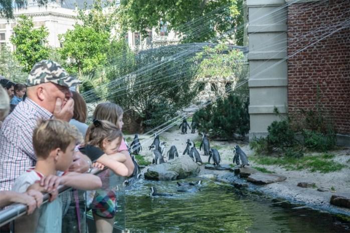 Zoo zamelt lavendel in voor pinguïns: snoeisel houdt gevaarlijke muggen weg