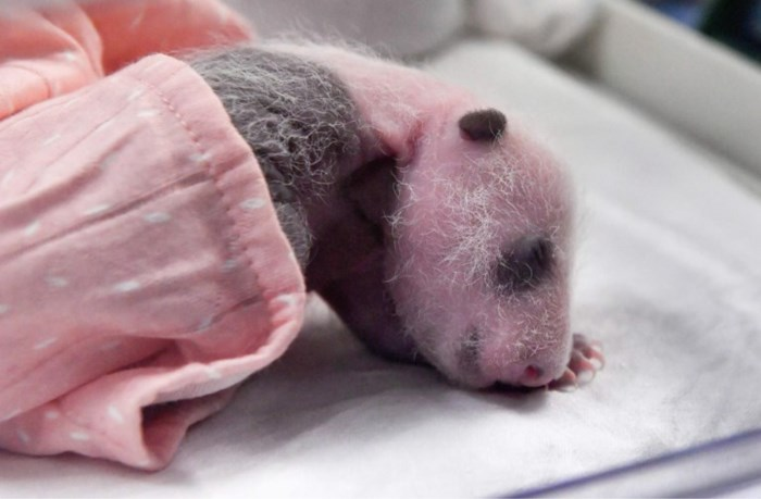Pandababy's hebben nog geen naam, en zijn al verdriedubbeld in gewicht