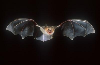 """Joeri Cortens hekelt vooroordelen over vleermuizen: """"Eigenlijk hebben ze best schattige snoetjes"""""""