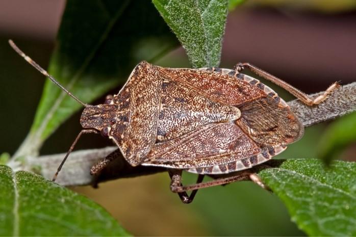 Dit stinkende insect reist mee met rugzaktoeristen en bedreigt nu ons fruit