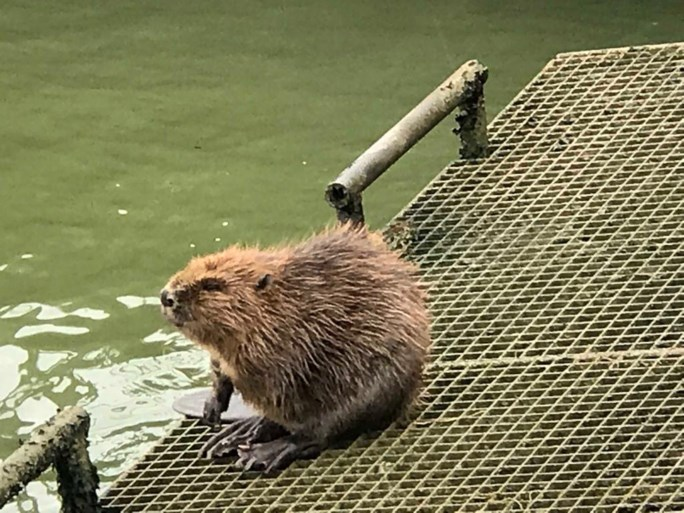 Bever duikt op in Albertkanaal in Zandhoven