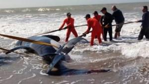 Zeven orka's aangespoeld op Argentijnse kust