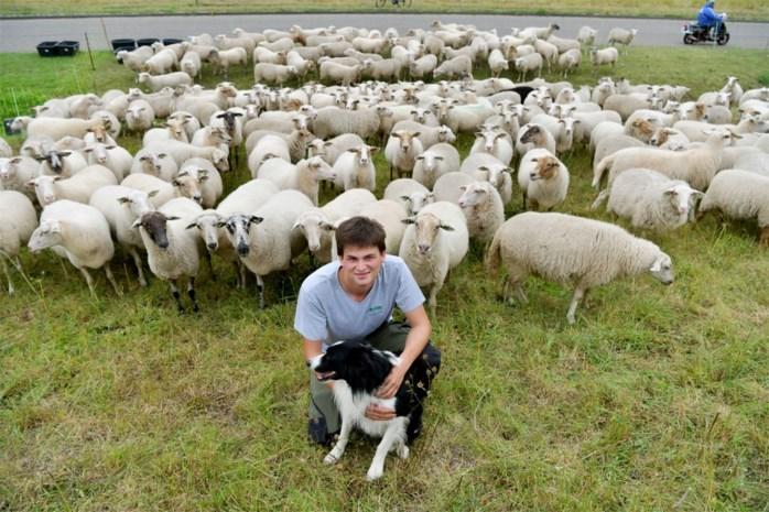 Gat in de markt: schapen begrazen bermen en parken in stad