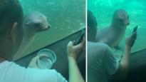 Bezoeker toont foto's op zijn smartphone aan zeeleeuw in dierentuin, en die reageert met wel erg veel interesse