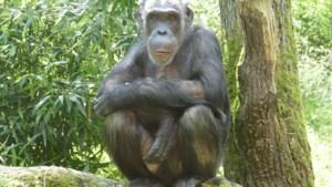 Antwerpse Zoo verwelkomt drie vrouwelijke chimpansees uit Duitsland