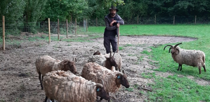 """Schapenras met vier hoornen graast in gemeentelijke parkgebieden Hove: """"Meest milieuvriendelijke grasmaaiers"""""""