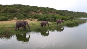 Antwerpse studenten maken GPS-tracker voor Afrikaanse olifanten