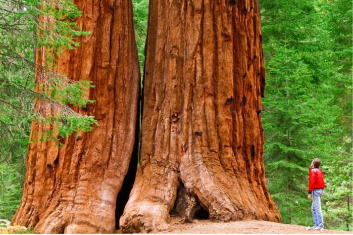Na 3.500 jaar, miljoenen toeristen en tal van branden dreigt grootste sequoia-bos verloren te gaan