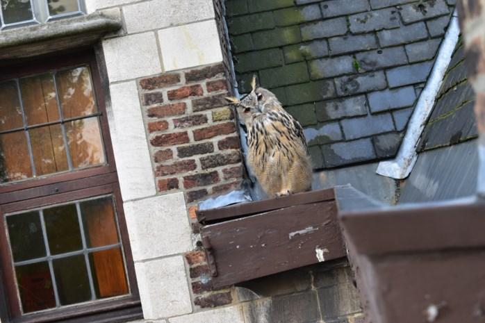 """Oehoe zoekt toevlucht in Hof van Liere: """"Hij zorgt voor een echt 'Harry Potter'-sfeertje"""""""
