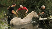 In gracht gesukkeld paard toevallig ontdekt en door brandweer van verdrinkingsdood gered