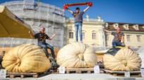 De drie beste pompoenkwekers van Europa komen allemaal uit Kasterlee