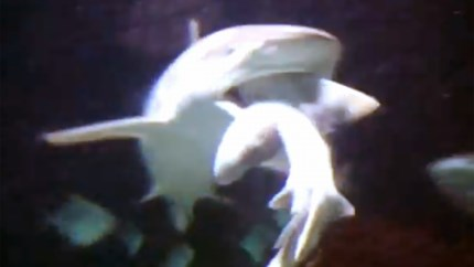 Haai eet soortgenoot op voor ogen van bezoekers Antwerpse zoo