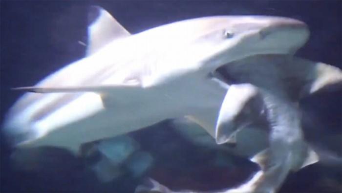 """Haai verorbert haai in Zoo van Antwerpen: """"Soms neemt het instinct van zo'n roofdier het over"""""""