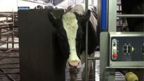 Nieuwe superintelligente robot melkt koeien wanneer ze er zin hebben