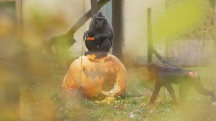 Pompoenen zorgen voor animo in Antwerpse zoo en Planckendael