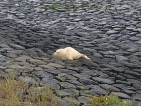 """Albino zeehond aangetroffen op Texel: """"Ziek maar vol levenslust"""""""